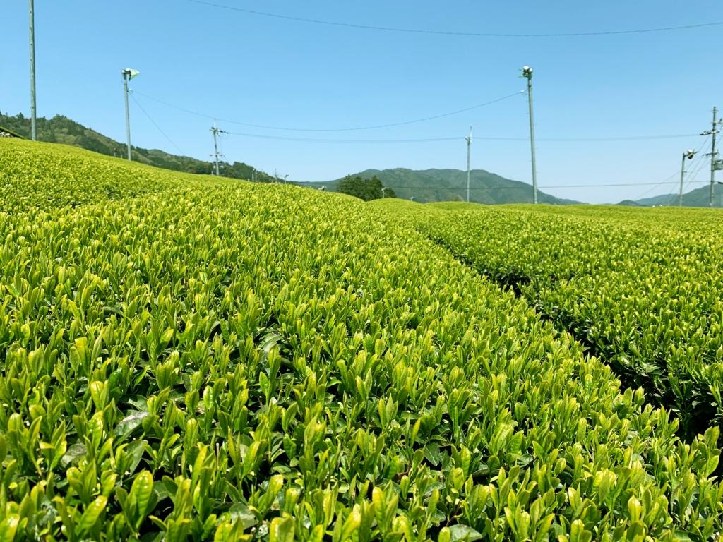 伊藤茶園契約農家茶園1